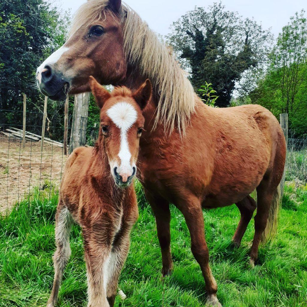 poulain; ferme pédagogique ; naissance ; élevage poneys
