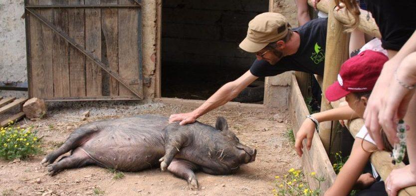 Tchoupy le cochon vietnamien AFAC